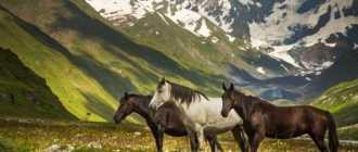 Тушинская порода лошадей: описание, фото, характеристика