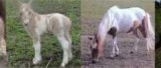 Гнедо-пегая масть лошади: фото, окрас, оттенки, описание, видео