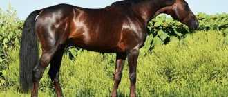 Дунайская порода лошадей: описание, характеристика и фото