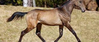 Самая красивая лошадь в мире: Ахалтекинская, особенности, список пород
