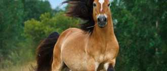 Лошади Белорусской упряжной породы: фото и видео, характеристики