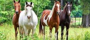 Светло-серая масть лошади в красную гречку: ген, описание породы, фото