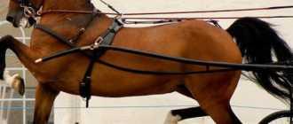 Порода лошадей и пони Хакнэ: фото, описание, экстерьер и характеристики