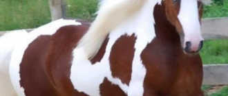 Самая лучшая лошадь: топ-10 пород, шайр, фризская, ахалтекинская, арабская и донская