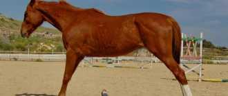 Как научить лошадь делать кранч: виды, передний и задний, фото и видео