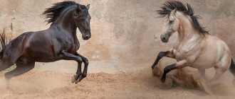 Лузитано или Португальская лошадь: фото и видео, характеристики, описание
