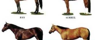 Американский квартер, четырехмильная лошадь – верховая: фото и видео