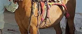 Лошади породы Катхиавари: фото и видео, описание и история