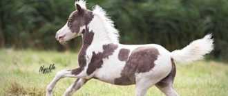 Самая маленькая лошадь на земле: фото, миниатюрные породы, мини-аппалуза, фалабелла и тумбелина