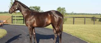 Кентуккийская горная верховая порода лошадей: характеристика, фото, описание
