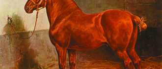 Суффолкская порода лошадей: фото и видео, характеристики
