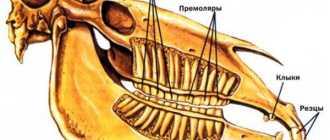 Зубы лошади: коренные, виды, строение, резцы, клыки, уход за зубами коня