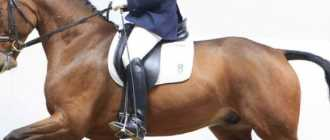 Ольденбургская порода лошадей: характеристика, описание, фото