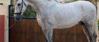 Чистокровная испанская порода лошадей: фото, описание, происхождение
