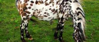 Дартмурский пони: фото, экстерьер, характеристика и описание