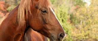 Ринская упряжная порода лошадей, ринеландер: описание, характеристика и фото