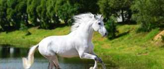 Лошадь породы Сан Фрателло: описание, фото, характеристика