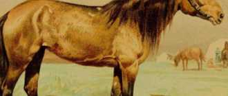 Новокиргизская порода лошадей: описание, фото, характеристика