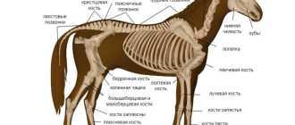 Скелет лошади: строение, головы, позвоночника, грудной клетки, таза, описание