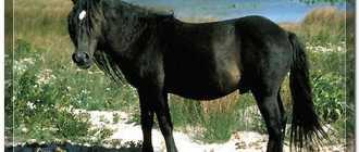Исландская порода лошади: особенности, фото и видео, описание