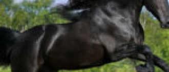 Чепрачная масть лошади: фото, оттенки, внешний вид, описание