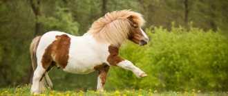 Австралийский пони: окрас, рост в холке, описание, фото, характеристика