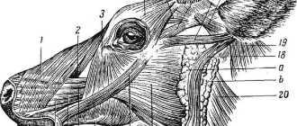 Мускулатура лошади: мускулы шеи, головы, груди, живота, позвоночного столба и тазовой конечности