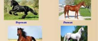 Светлые масти лошадей: фото и видео, описание, гены, изабелловая, буланая, соловая, паломино