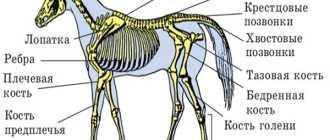 Периферическая нервная система лошади: виды и категории, строение, фото, развитие