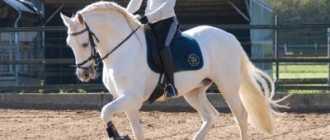 Картезианская порода лошадей: характеристика, фото и описание