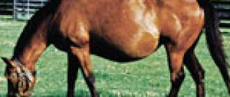 Эмбриональное развитие плода лошади, периоды беременности, формирование зародыша у кобыл