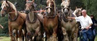 Гудбрансдальская или Норвежская тяжелоупряжная порода лошадей: фото, история