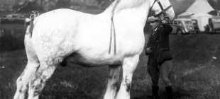 Самая крупная лошадь: в мире, Шайр, Сампсон, параметры, рекордсмены