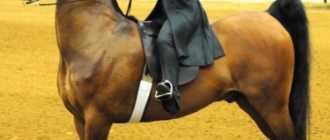 Американская верховая лошадь, сэдлбред: фото и видео, описание