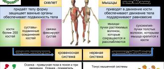 Опорно-двигательный аппарат лошади: назначение, задачи, элементы, скелет и позвоночный столб