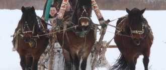 Мезенская порода лошадей: интересные факты, экстерьер и характеристика, фото