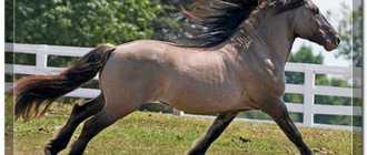 Саврасая масть лошади: фото, описание, отличительные черты, оттенки, характеристика