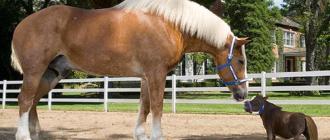 Размеры самой длинной лошади сегодня: высокой, в истории, породы, длина