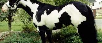 Рыже-пегая масть лошади: фото, описание, оттенки, генотип, характеристики